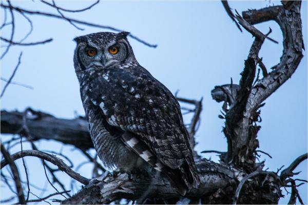 Annie's owl