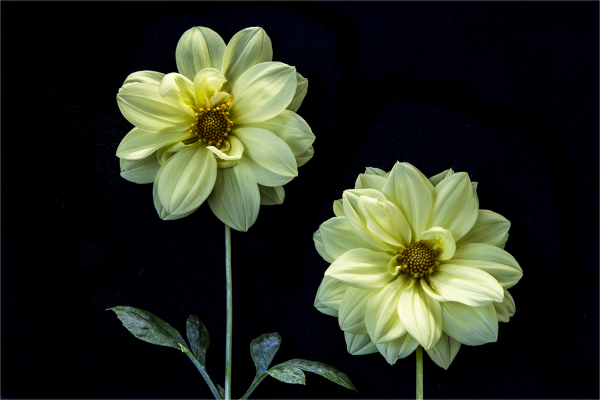 Dahlias in colour