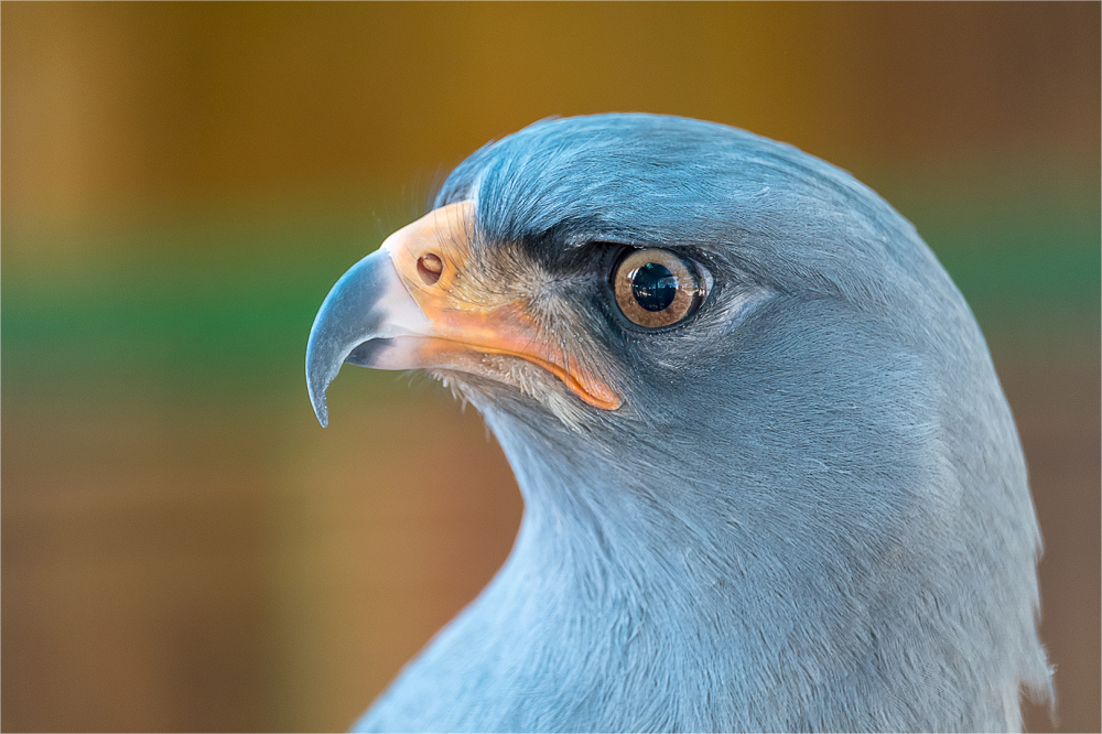 Adult pale goshawk