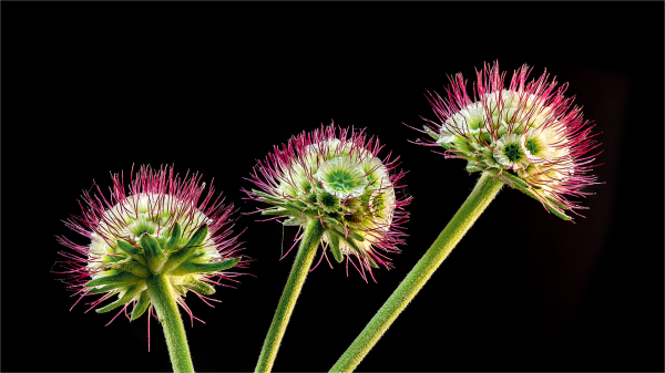 Scabiosa Seeds