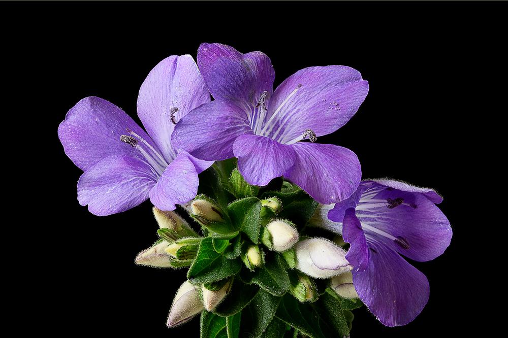 Bush violet