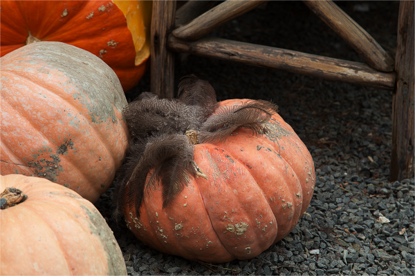 Pumpkin with feathers, anyone?