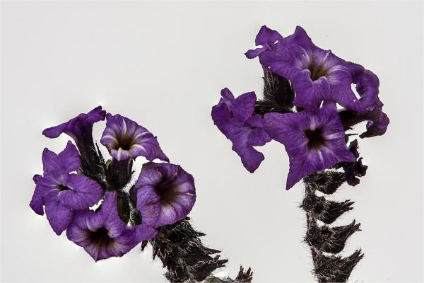 Heliotrope flowers