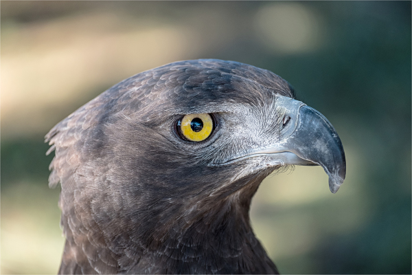 Verreaux eagle