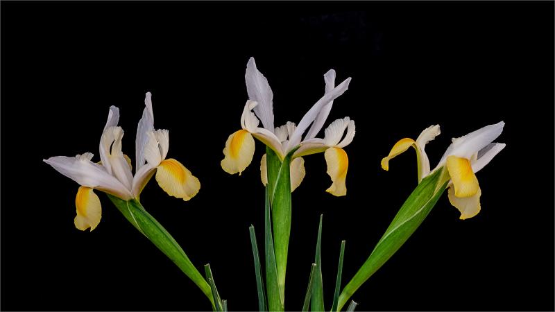 Iris ensemble