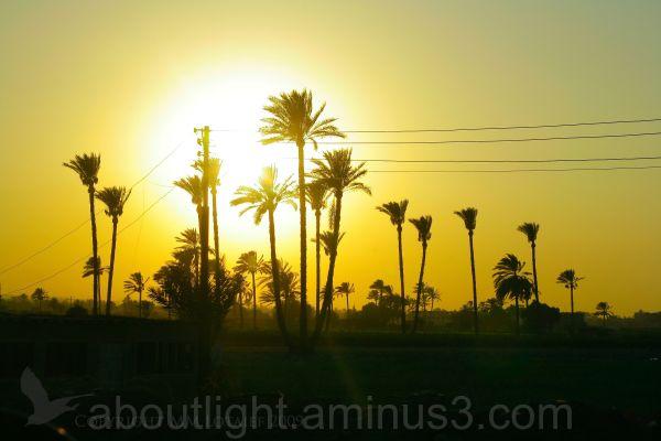 Date Palms at Sunset