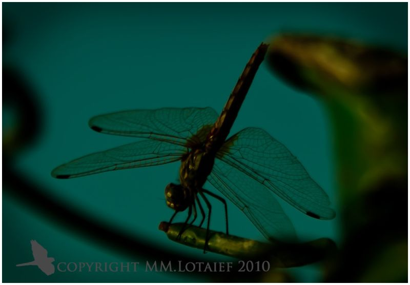 Dare Dragonfly