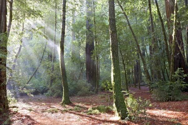 Redwoods Mist