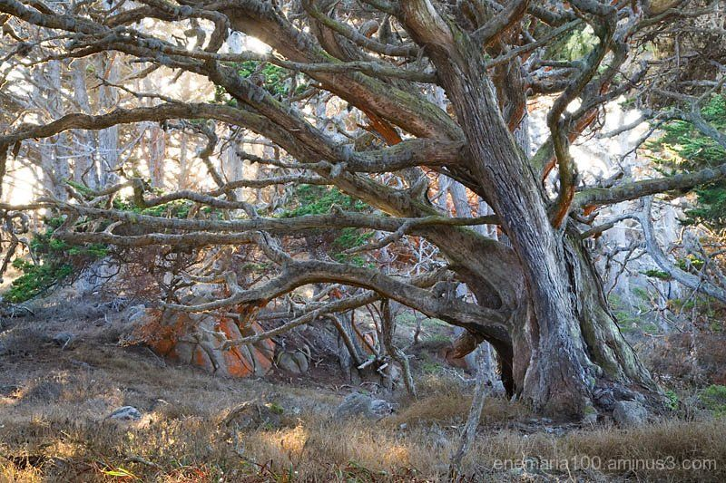 Cypress Tree, Point Lobos State Reserve