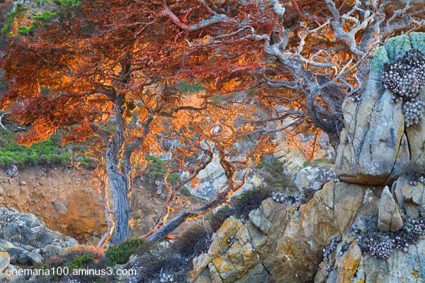 Red Lichen Covered Tree, Point Lobos, Carmel, CA