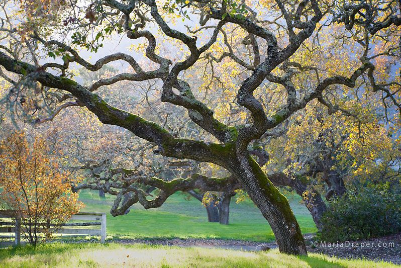 Oak Tree in Early Spring, Carmel Valley, CA