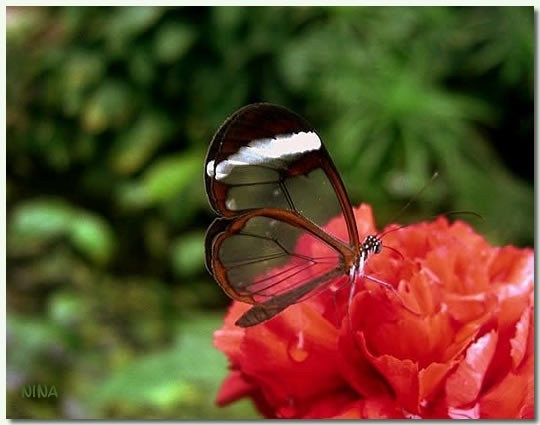 transparent butterfly VII