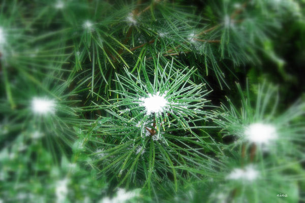evergreen plant with snow