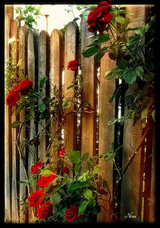 roses by the wayside