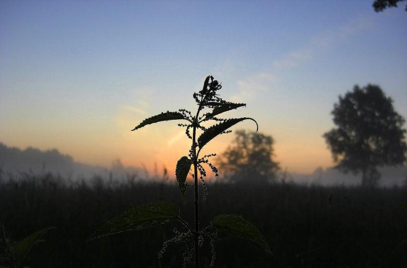stinging nettle at sunrise