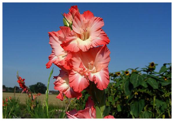 blooming gladiolas