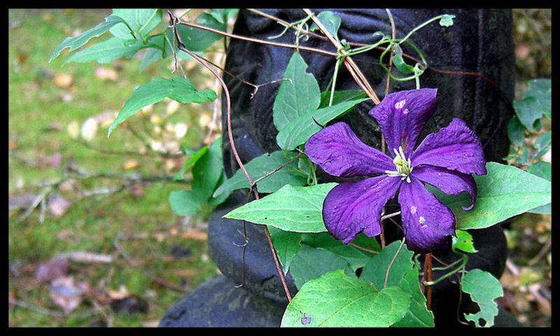 late-flowering clematis