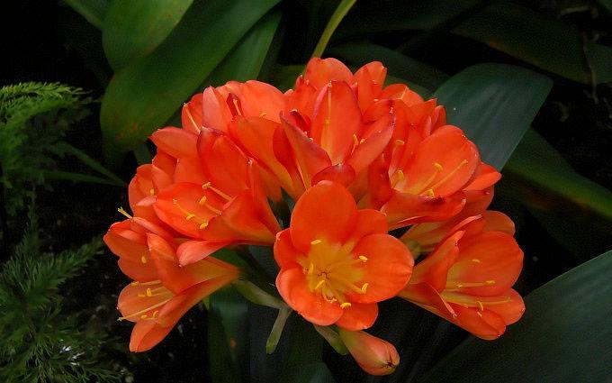 Clivia flowers.