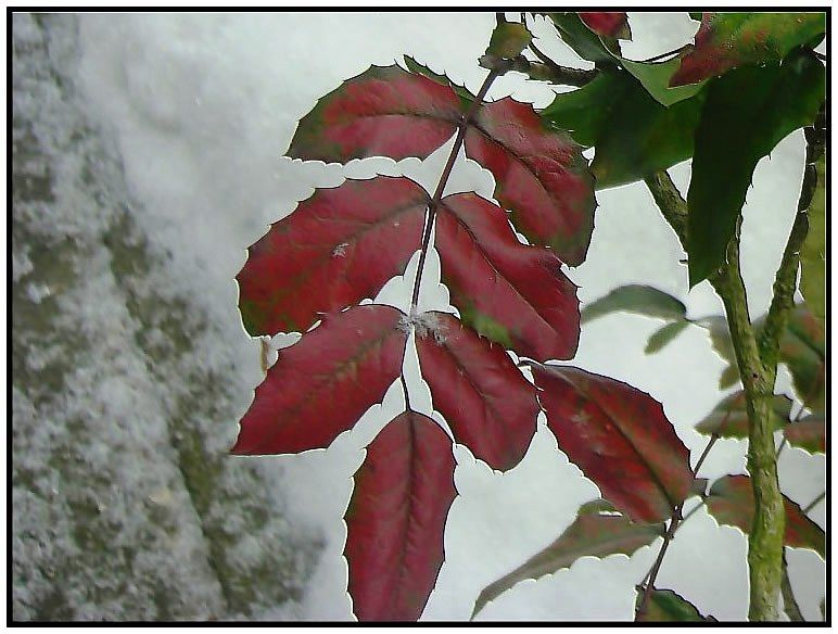 a rose in winter with red leaves