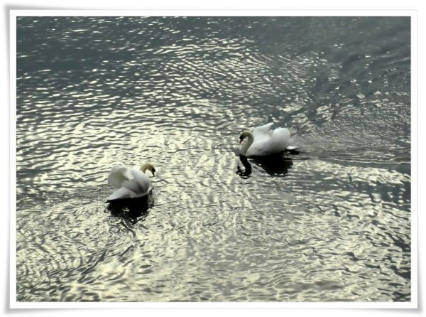 speedy swans I