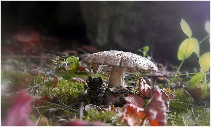 garden mushroom