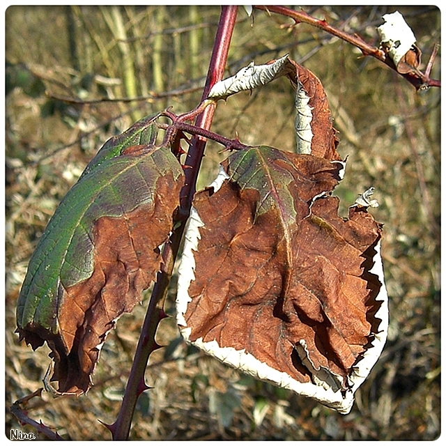 leaves of a thorny shrub