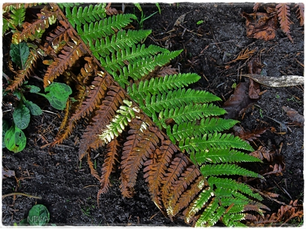 two-coloured fern
