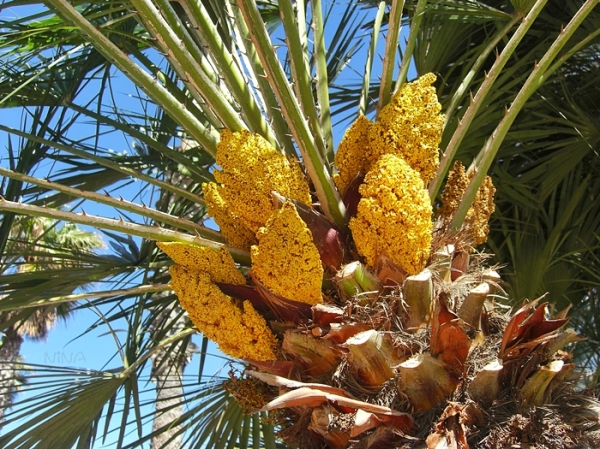 Palm in bloom