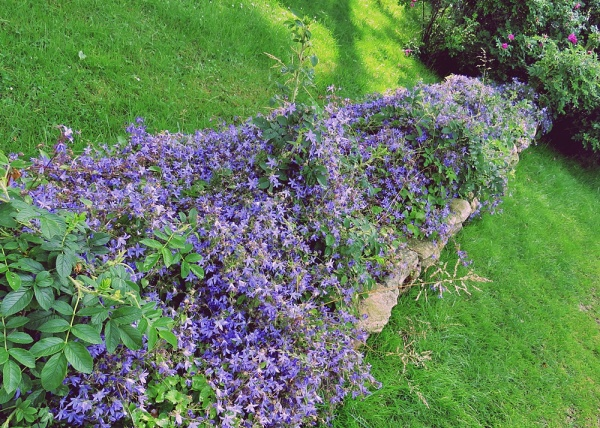 purple hedge