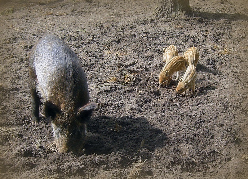 young wild boars...