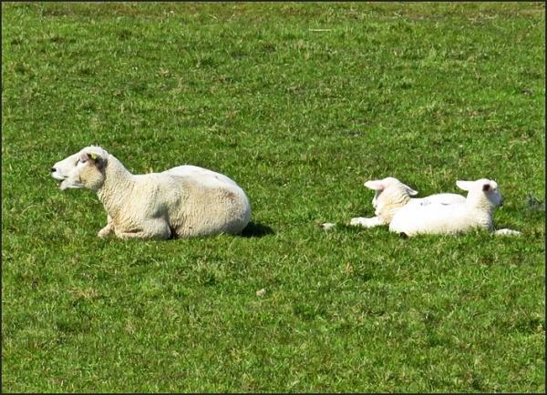 happy sheeps
