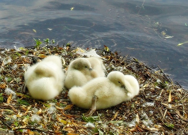 three little swans