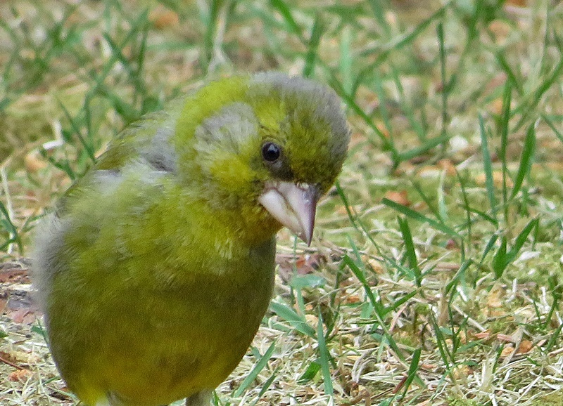 baby greenfinch