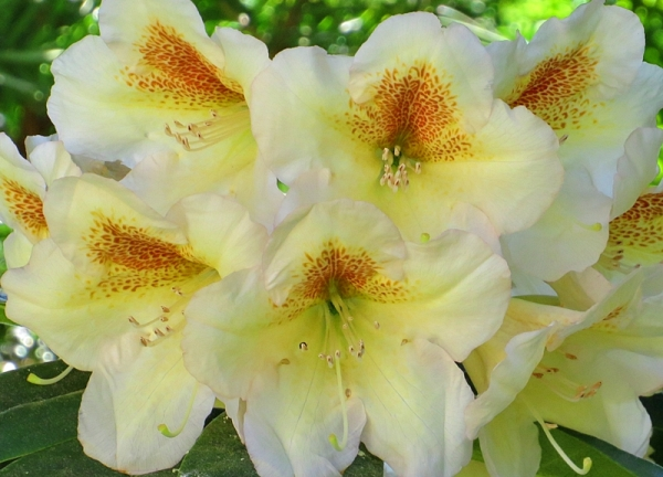 yellow flowering rhododendron