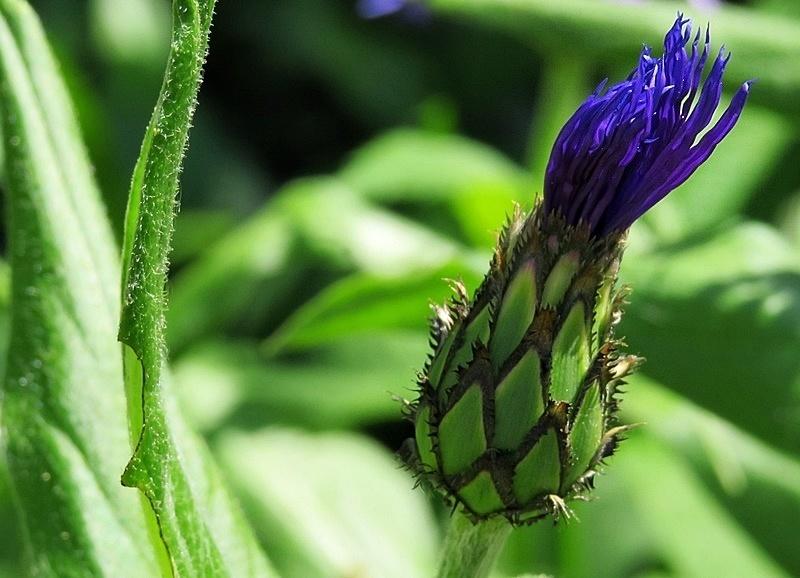 mountain cornflower