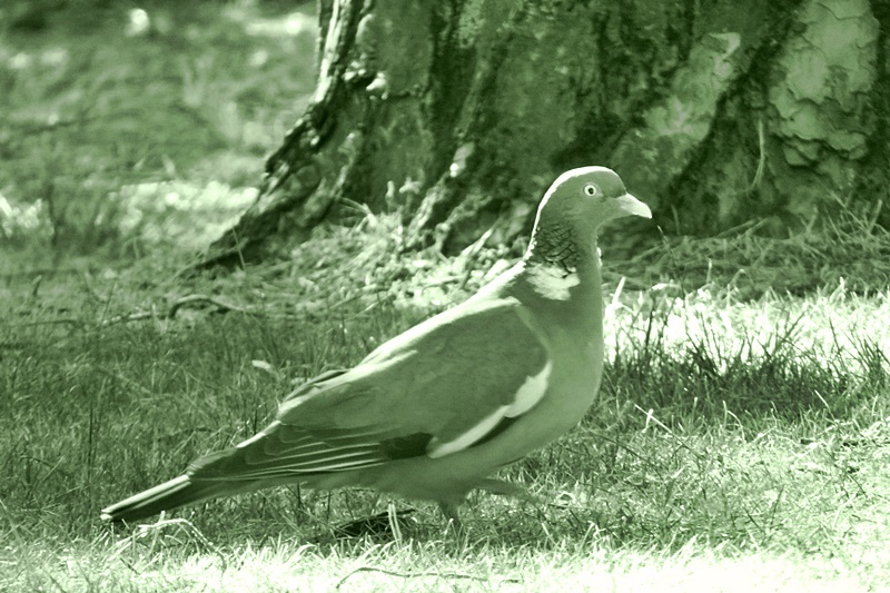 pigeon in the garden