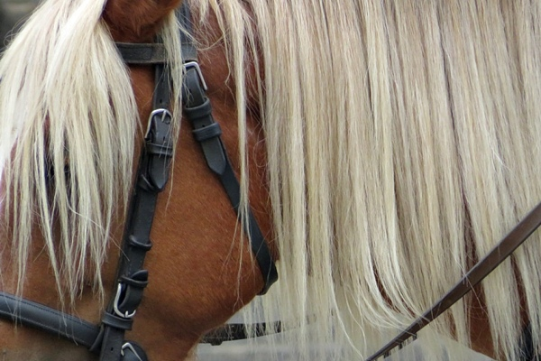 long mane and forelock