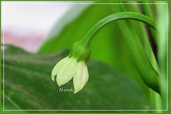 paprika flowering