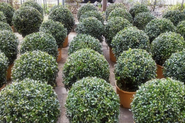 evergreen buxus