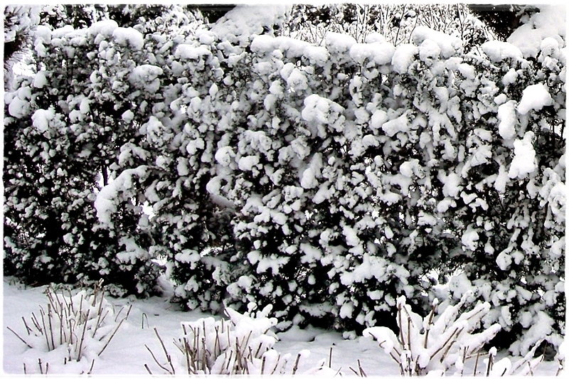 snowy hedge