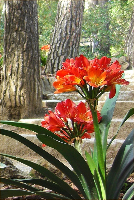 orange natal lily blossoms