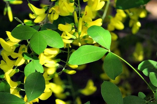 common laburnum I
