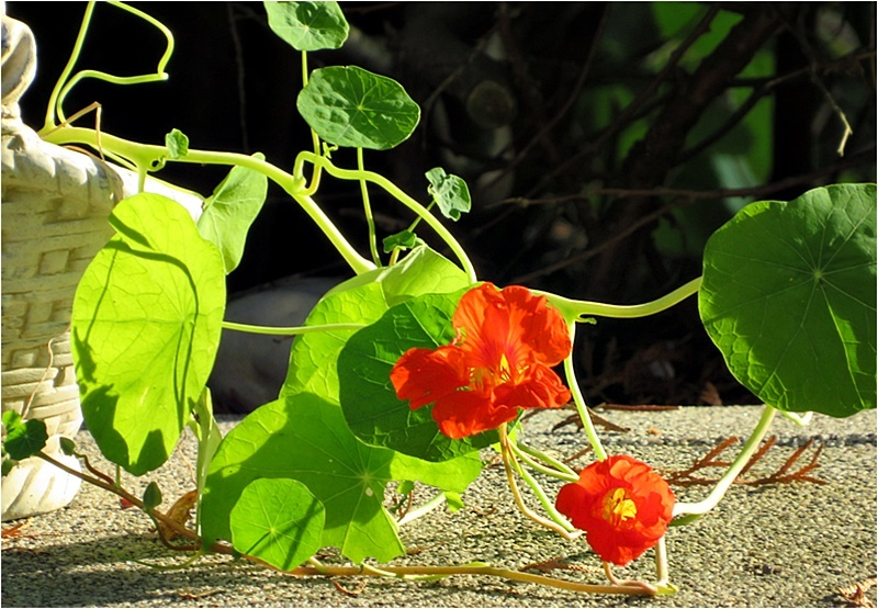 nasturtium in the evening sun I