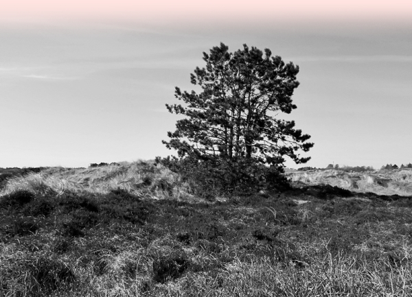 tree in the dunes