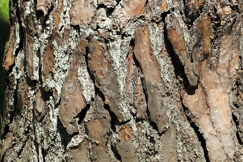 tree bark of a pine
