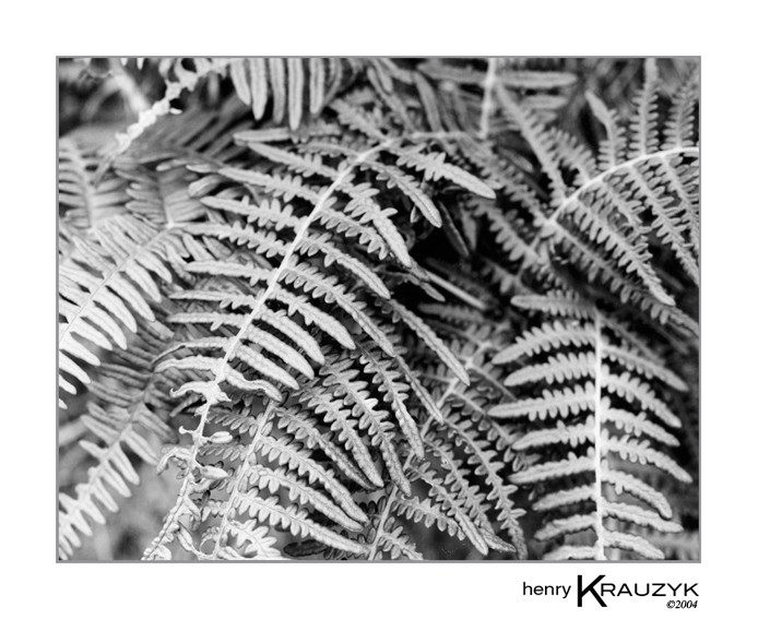 Ferns, Sao Miguel, Azores by Henry Krauzyk ©2004