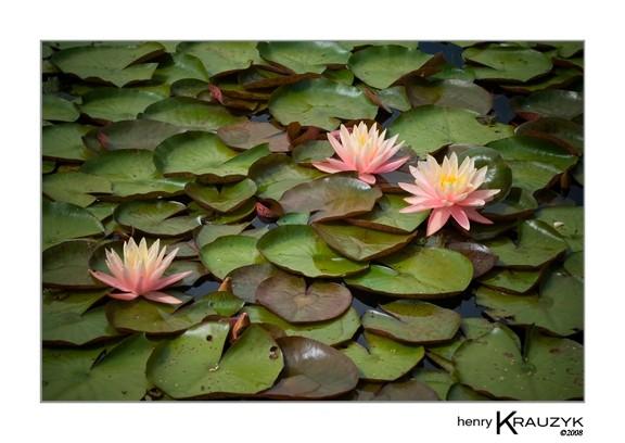 Three Lilies by Henry Krauzyk ©2008