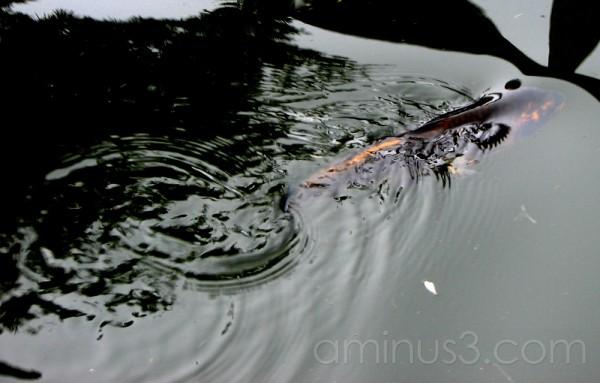 Swimming Ripples