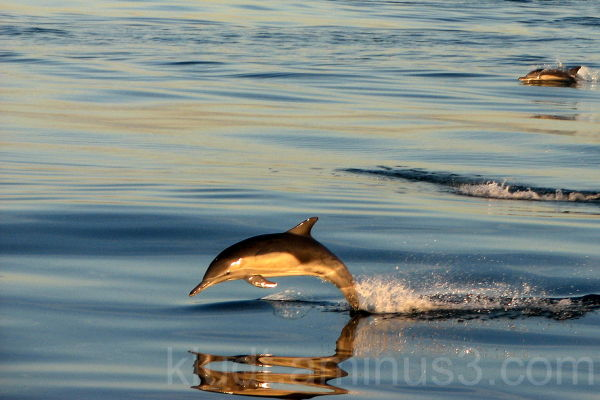 Channel Dolphin