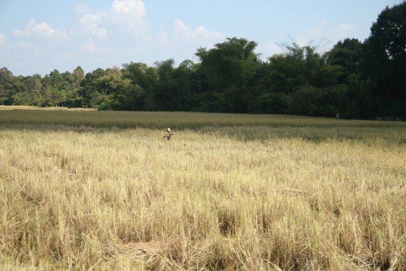 Cambodian rice farmers